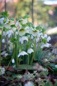 Helleborus white