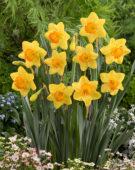 Narcissus Princess Alexia