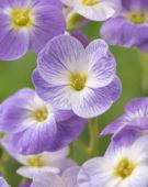Aubrieta Florado Blue Blush Bicolor