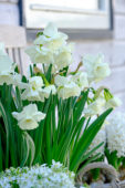 Narcissus Elvin's Voice