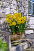 Daffodils on pot