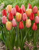 Tulipa Impression mix