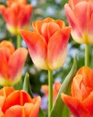Tulipa Hypnose