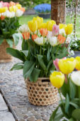 Tulipa fosteriana mix