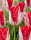 Tulipa Red Fire
