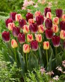 Tulipa Candy Corner, Kansas Proud