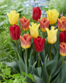 Tulipa Flight mix