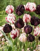 Tulipa Carnaval de Nice, Black Hero