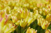 Tulipa multi-flowering