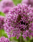 Allium Purple Suze