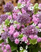 Allium boeket