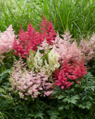 Astilbe Younique mix