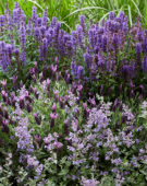 Purple perennial combination