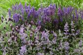 Purple perennial combination
