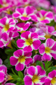 Calibrachoa Candy Shop Candy Crush