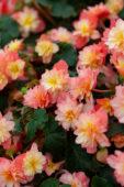 Begonia RiseUp™ Coral Reef