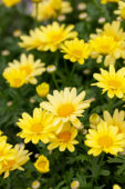 Argyranthemum Beauty Yellow