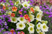 Calibrachoa Candy Shop Candy Bouquet, Lobelia Hot Purple, Petunia Bingo Sun