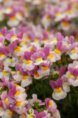 Nemesia Escential Pinkberry