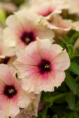 Petunia Crazytunia Rose Gold