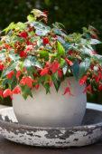 Begonia boliviensis