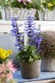 Salvia guaranitica Black and Blue