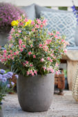Fuchsia roze