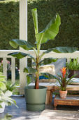 Musa acuminata Cavendish, Guzmania Variada