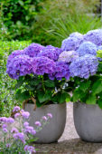Hydrangea Multi-Double by Magical® Pump Up The Blue, Purple Blue Fiction