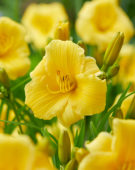 Hemerocallis EDL Gold