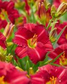 Hemerocallis Woodside Ruby