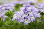 Verbena Vepita Up Lavender