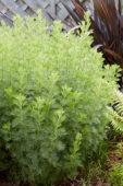 Artemisia citrate
