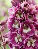 Delphinium elatum Excalibur Lilac Rose White Bee