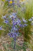 Eryngium bourgatii Picos Amethyst