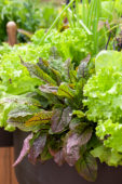 Mixed lettuce on pot
