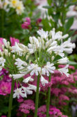 Agapanthus Snow Crystal