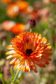 Calendula officinalis Touch of Red