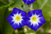 Convolvulus tricolor Royal Ensign