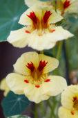 Nasturtium majus Cream Troika