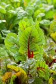 Beta vulgaris Rhubarb Chard