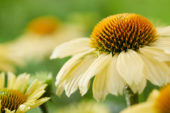 Echinacea Sombrero Lemon Yellow