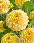 Dahlia Yellow Don