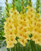Gladiolus Yellow Age