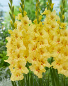 Gladiolus Yellow Age