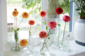 Dahlias in vases