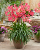 Nerine elegantie Shades of Cherry
