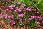 Gentiana pink