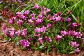Gentiana roze