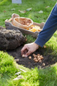 Planting Crocus bulbs in lawn